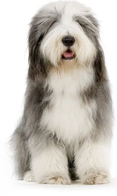 Bearded Collie Dog Information