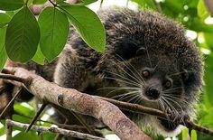 The Binturong (Arctictis binturong), also known as the Asian Bearcat