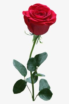 rose, Flower, Red PNG Image