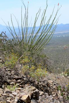 Tucson has a number of great independent places to eat and nature to visit. Checkout places such as Bookman& Beyond Bread, Saguaro National Park, Gates Pass, and the Arizona-Sonora Desert Museum. Desert Dream, Desert Life, Tucson Arizona, Arizona Trip, Tucson 2017, Visit Arizona, Sonora Desert, Mountain Park, Arizona Travel