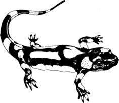 """Résultat de recherche d'images pour """"dessin salamandre"""" Moose Art, Images, Animals, Salamanders, Search, Drawing Drawing, Animales, Animaux, Animal"""