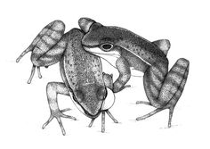 An illustration of a mating Hylodes japi couple, drawn from a video recording of the frogs. The female is touching the male while the male inflates one of his vocal sacs.<br />