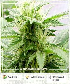 Crystal Rain feminized - Amsterdam marijuana seeds