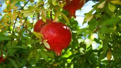 Grow a Pomegranate Tree! Once considered а fruit for royalty, the pomegranate is а delicious addition to your backyard orchard or edible landscaping. Organic Plants, Organic Vegetables, Organic Gardening, Gardening Tips, Organic Fruit, Tropical Plants, Organic Insecticide, Organic Fertilizer, Container Plants