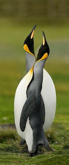 ♥ beautiful penguins