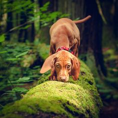 With mom's trip out of the country I'll declare this a throwback week! To start with here I am at 4 months working on natural agility in the forest. Logs and stumps were my playground as a puppy. #vizlsagram #throwbackthursday #dogsofig