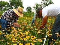 Volunteers Don Nelson and Gail Pyndus with Midewin seasonal worker, Steve, in the <em>Rudbeckia</em> burn  plot.
