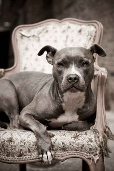 Kasha- I'm a healer, a leader, a dog, a woman, a spirit, an inspiration, a powerful meme, a Pit bull... Read more about her story in our current issue! #pet #naturalpetworld