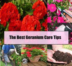 Geranium care on pinterest petunia care geraniums and mosquito plants - Overwintering geraniums tips ...