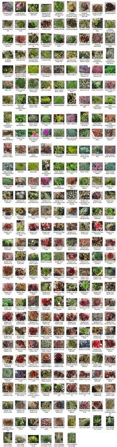 Succulent identification chart & growing info, climate zones, conditions, etc. for a wide variety of succulents #Succulents