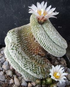 Turbinicarpus pseudopectinatus cristata. The crest is an abnormality/unusual/mutation.