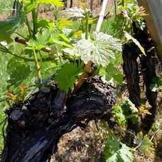 Vineyard #Wednesday #vine #grape #newwine #newyear #april #2016