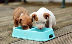 cómo educar a un cachorro de pitbull