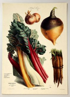 """""""From 1850 to 1895, Vilmorin-Andrieux & Cie, a Parisian seed company, commissioned a series of lavish illustrations as advertisements for its vegetables and fruits. The collection of 46 lithographs, by some of the period's most notable botanical artists, was eventually published as the 'Album Vilmorin (Les Plantes Potagères)"""" --NY Times"""