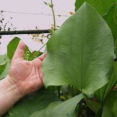 Echinodorus grandiflorus, Großblütige Schwertpflanze 100cm Planted Aquarium, Big Leaves, Vivarium, Plant Wall, Freshwater Fish, Raised Garden Beds, Fresh Water, Plant Leaves, Flowers