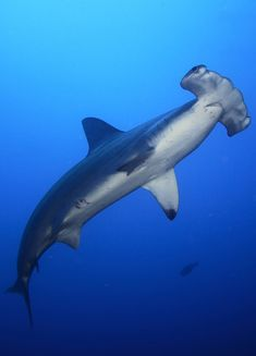 Hammerhead shark in the #Galapagos. Awesome!