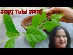 कैसे लगाएं तुलसी| तुलसी लगाने के तरीके| How to grow Tulsi/Ocimum tenuiflorum. - YouTube Medicinal Plants, Mtg, Youtube, Healing Herbs, Herbs