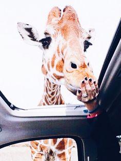 3508f326ca0110 #giraffe Baby Animals, Animals And Pets, Funny Animals, Cute Animals, Cute
