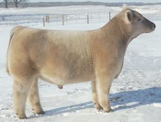 Miniature Breeds Of Cattle That Are Perfect For Small Farms Blow Dried Cow, Types Of Cows, Farm Animals, Cute Animals, Show Cows, Fluffy Cows, Longhorn Cow, Mini Cows