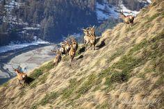 ROURE - PARCO ORSIERA ROCCIAVRE - Troupeau de biches #cerfs #faen #biche #cervi #Usseaux #Fenestrelle #roure #roreto #balma #villaretto #VALCHISONE #Torino #pinerolo #Italy #piemonte #travel #animaux #chasse #montagne