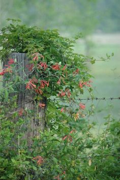 Lonicera sempervirens - cultivar of native honeysuckle (E US) --- NOT the invasive honeysuckle --- twining vine to 20', evergreen in some areas --- great or trellises & arbors --- HUMMINGBIRDS LOVE THIS. - RH rueth