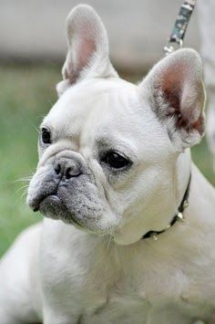 French Bulldog! I will have one some day :)