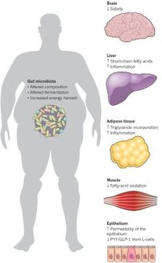 Figure 2. Alterations to the composition and metabolic capacity of gut microbiota in obesity promote adiposity and influence metabolic processes in peripheral organs, such as the control of satiety in the brain; the release of hormones from the gut (shown as PYY and GLP-1); and the synthesis, storage or metabolism of lipids in the adipose tissue, liver and muscle. Microbial molecules also increase intestinal permeability, leading to systemic inflammation and insulin resistance