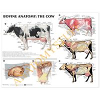 This #Bovine #Anatomy Poster depicts the detailed illustrations from Spurgeon's Colour Atlas of Large #Animal Anatomy. Features illustrated include the left lateral view indicating the dorsal and vertebral regions, superficial muscles and veins, deep cerv