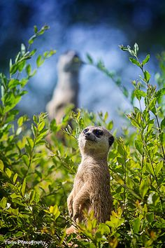 Meerkat by WindyLife.deviantart.com on @deviantART
