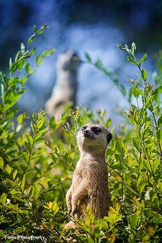 Meerkat by WindyLife.deviantart.com on @deviantART