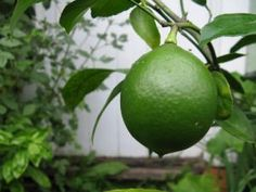 Gardeners don't have to live in a semi-tropical zone to grow organic lemons, limes, oranges, and other citrus fruits. Proper technique with potted plants can yield a bounty of delicately flavored, vitamin-rich citrus.data-pin-do=