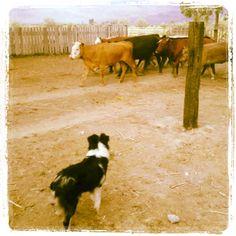 Josh Walker cow dogs