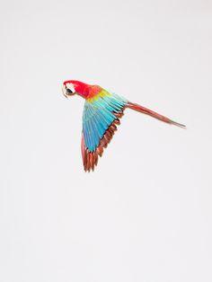 Parrot in flight by  Maurice Van Es