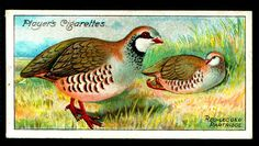 "Player's Cigarettes - ""Nature Series"" (set of 50 issued in 1909) No18 Red-Legged Partridge"