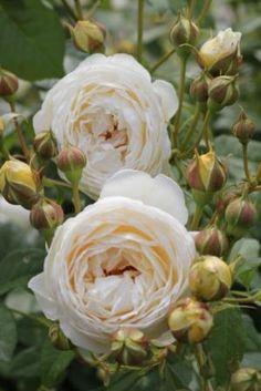 ~English Shrub Rose: Rosa 'Claire Austin' (U.K., 2007)