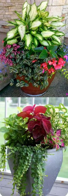 "Diffenbachia / Leopard Lily, Hypoestes phyllostachya / Polka Dot plant, Tradescantia pallida / Wandering Jew plant, Lobelia 'Techno Blue ', Begonia ""Red Dragon Wing"""