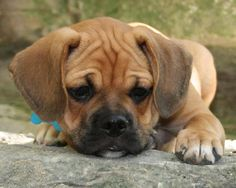 Puggle Puppy-this is what Cleo looked like as a puppy!!