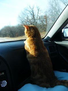 #BudgetTravel #travel #travelingcats #pets #cats #adorable #cute BudgetTravel.com