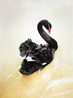 """Black swan"" by Raymond Ching | Fine Art Online"