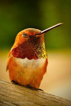 A rufous hummingbird in New Denver, British Columbia.  © Jesse Schpakowski 2013