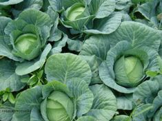 Como Plantar Salsa, Lettuce, Vegetable Garden, Gardening Tips, Cabbage, Vegetables, Diy, Gardens, Small Vegetable Gardens