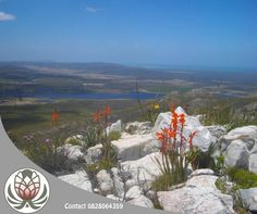 Did you know the magnificent Fynbos species tends to grow and flourish in poor soil?