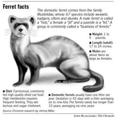 Ferret love! on Pinterest | Ferrets, Cute Ferrets and Funny Smiles