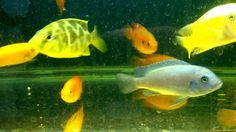 HOW Fish tank wallpaper hd for full tankfish 2#fish #tank #howto #make #design #aquarium #FHD #1080P #NEW #2017 #Freshwater #Setup #Disease #Breeding #Plants #Books #Articles #Saltwater  #Guide #Reef #Coral #Live #Rock #Equipment #Reviews #Light #Brine #Shrimp #Hatchery #Osmosis #UV #Sterilizer #Chiller #most #pictures #videos  #movies #youtube #ever  Freshwater Fish Barbs Betta Catfish Cichlids Freshwater Inverts Gourami Livebearers Loaches Puffers Tetras Saltwater Fish Angelfish   Dwarf…