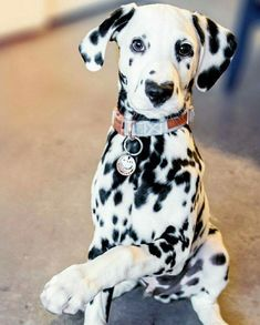 Dalmatians always make me smile The Animals, Cute Baby Animals, Cute Puppies, Cute Dogs, Dogs And Puppies, Doggies, Beautiful Dogs, Animals Beautiful, Dalmatian Dogs