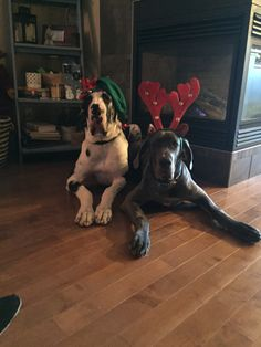 Dec 2017 - Ryker and Diesel . attempting their first Christmas Pictures 2017 Harlequin Great Danes, Blue Great Danes, Merry Christmas 2017, Dane Puppies, Great Dane Puppy, Christmas Pictures, Big Dogs, Diesel, Funny Pictures