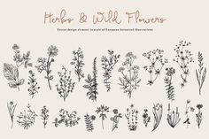 Herbs & Wild Flowers. Set - Illustrations - 1