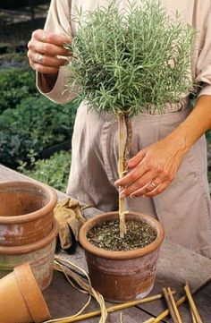 How to make a rosemary topiary.