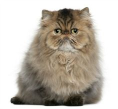 Persian Cat Breed Information and Photos | ThriftyFun