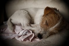 Jack Russell Terrier made into a ball Perros Jack Russell, Jack Russell Puppies, I Love Dogs, Cute Dogs, Parson Russell Terrier, Wire Fox Terrier, Jack Russells, Sleeping Dogs, Little Dogs